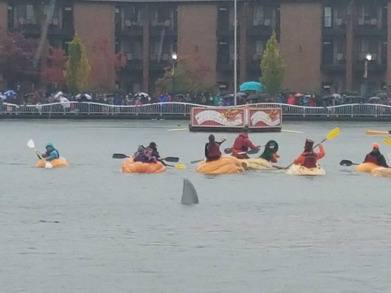 This year's giant pumpkin regatta