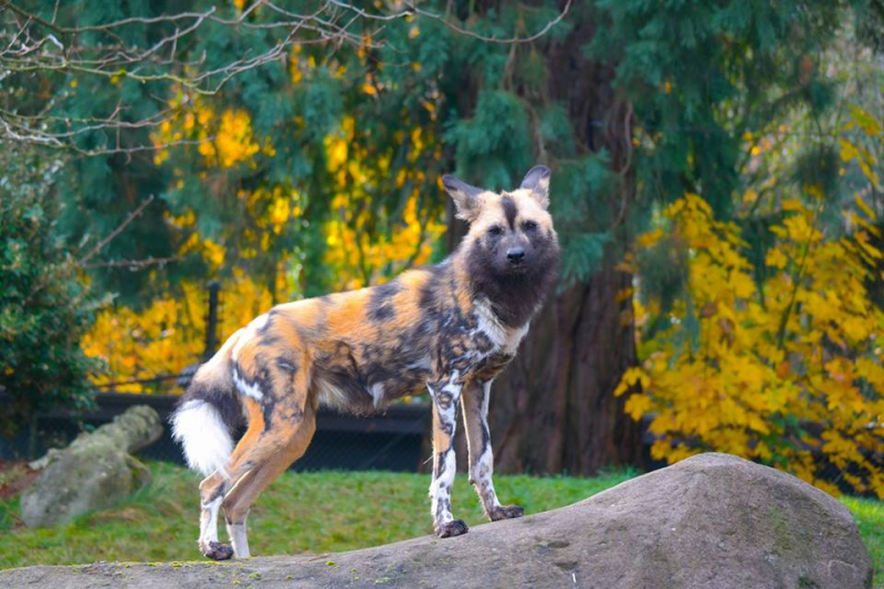 Painted dog at Portland Zoo