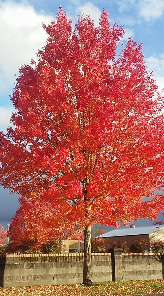 Tree in Albany  OR