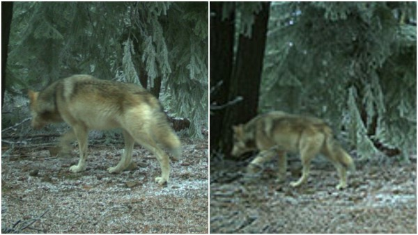 Wolves on Mount Hood