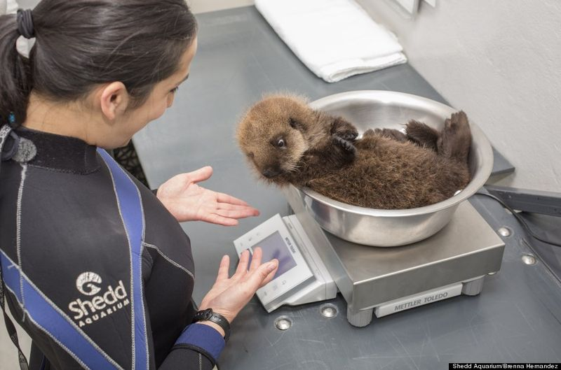 Otter pup getting weighed