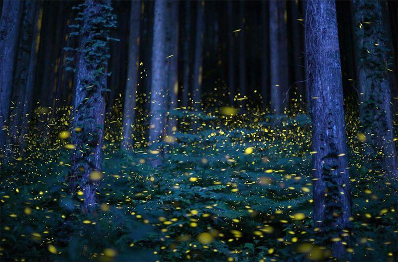 More fireflies, in Japan