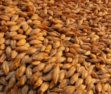 Malted-barley