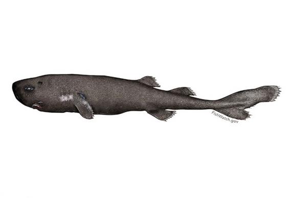 Pocket-shark-1