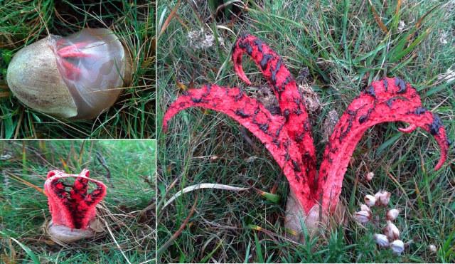Devil's Fingers Fungus blooming