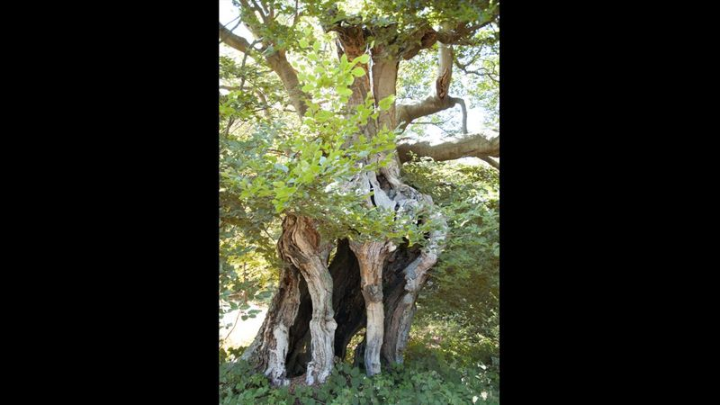 Cage Pollard beech, Buckinghamshire