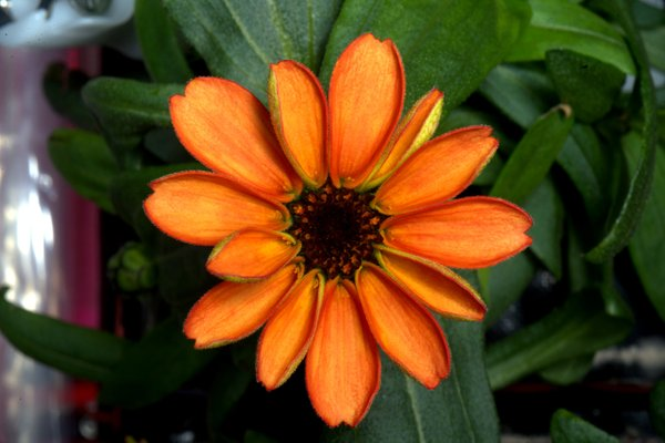 First ever flower grown in space (a zinnia)