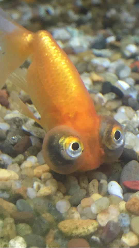 Googly goldfish