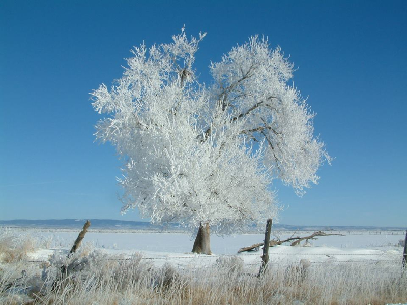 Fog-frosted tree, Burns, OR