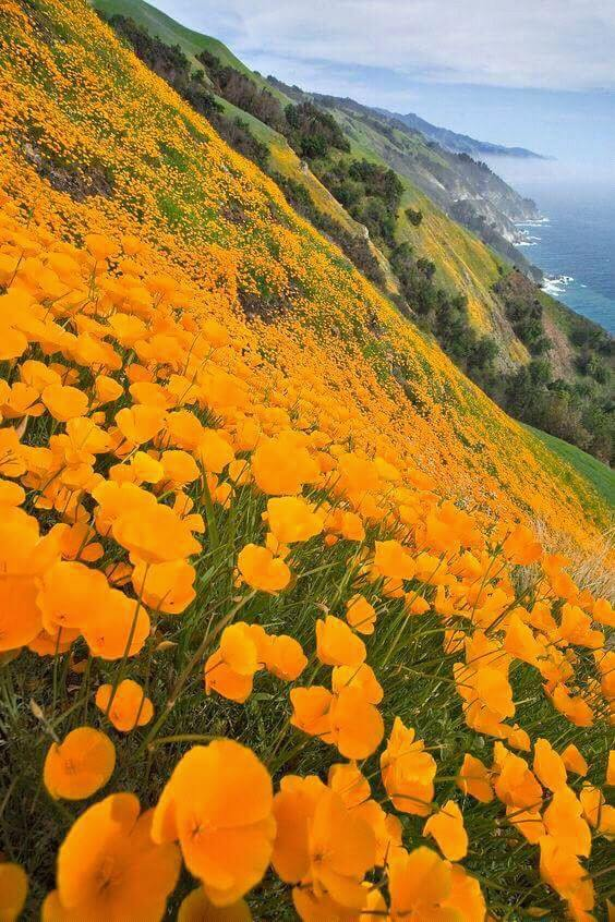 Big Sur blooming