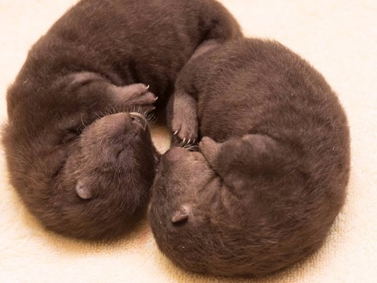 Tilly's two river otter pups