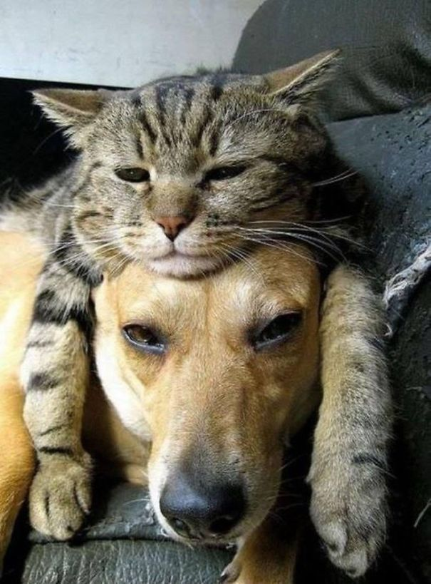 Cat on dog 2