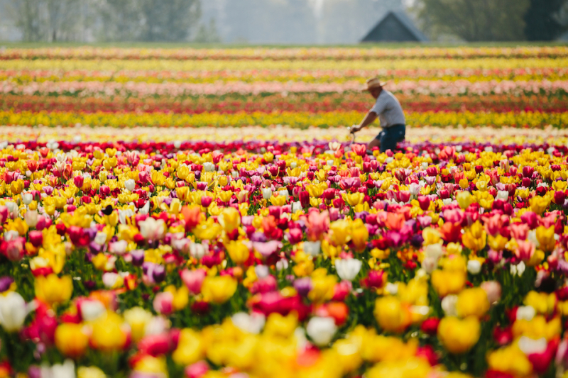 Tulip farm  Oregon