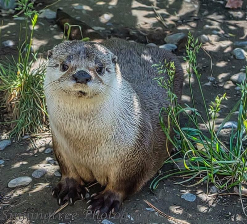 Otter  near Bend  Oregon