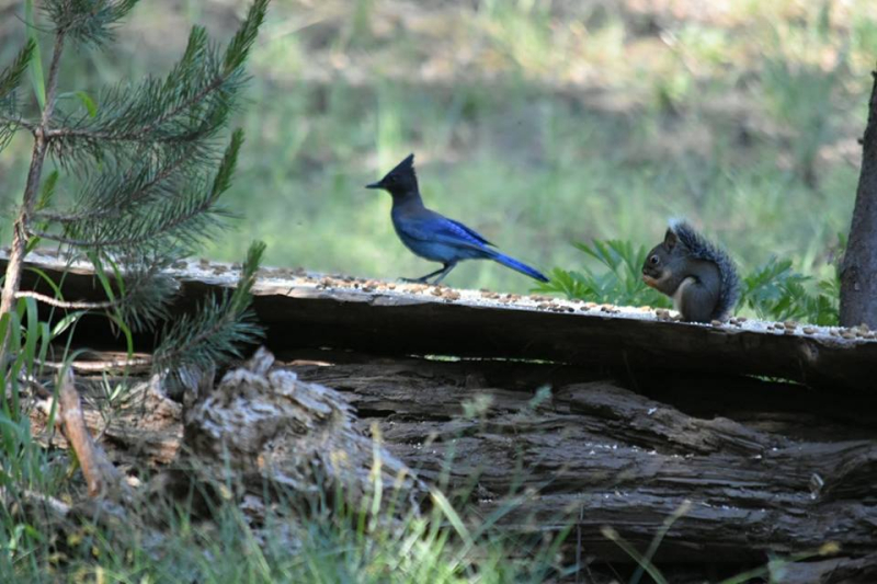 Stellar jay and squirrel