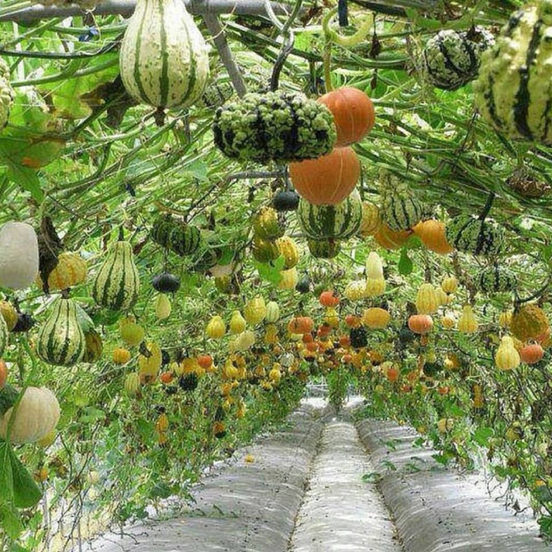 A latticework of gourds
