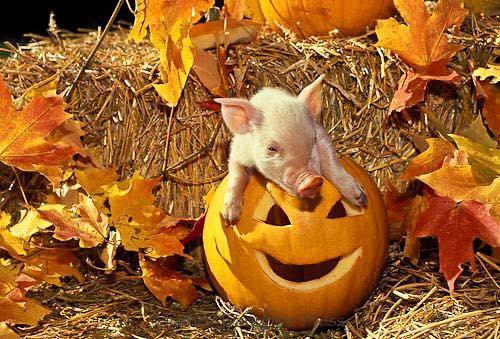 Piglet halloween