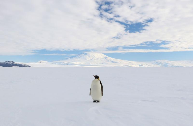Emperor penguin  Antarctica
