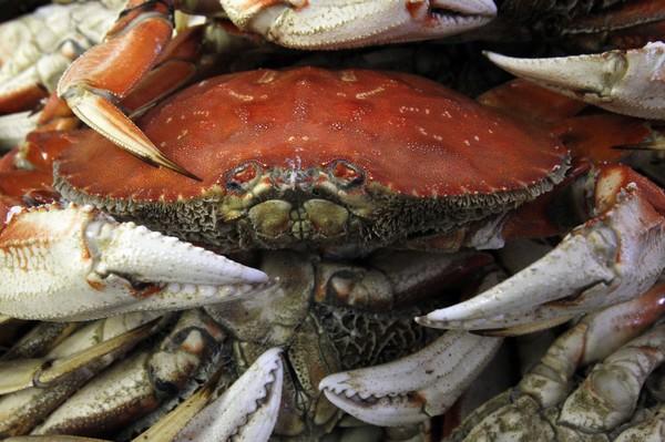 Dungeness-crab-season