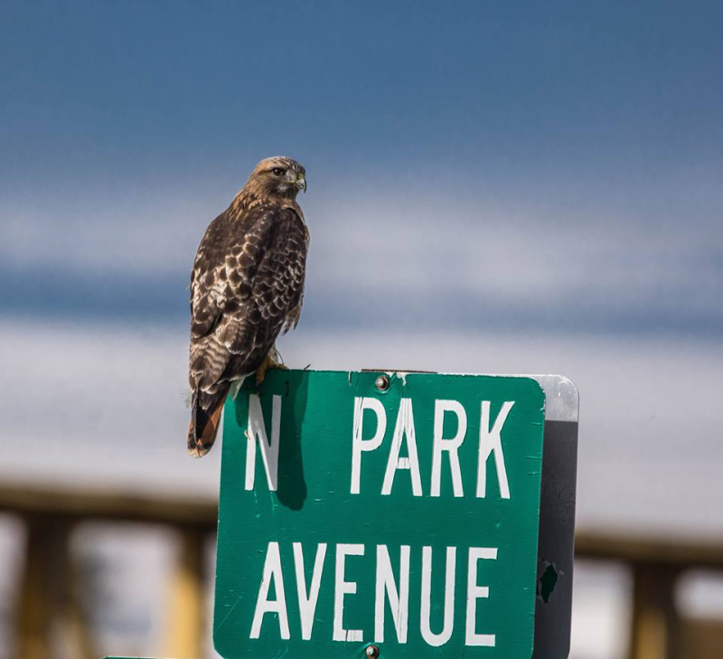 Red tail hawk watching the traffic
