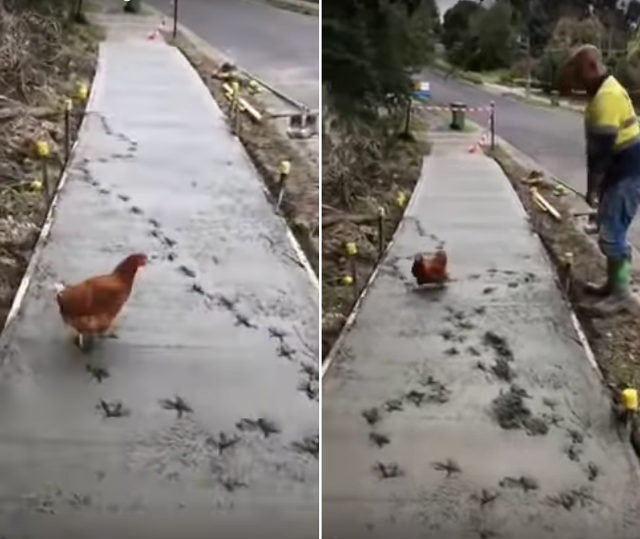 Chicken on wet cement 1